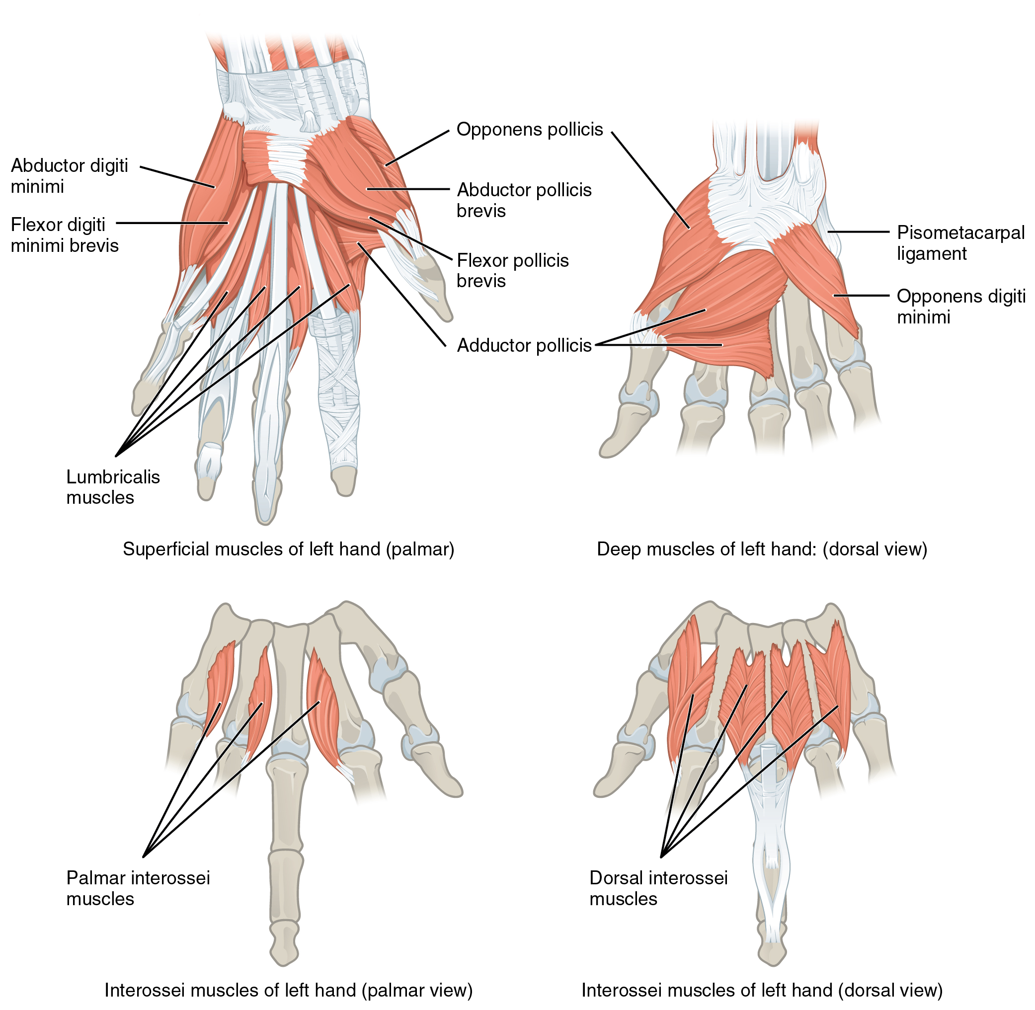 Muscles That Move The Wrist Hand And Fingers By Openstax Page 3