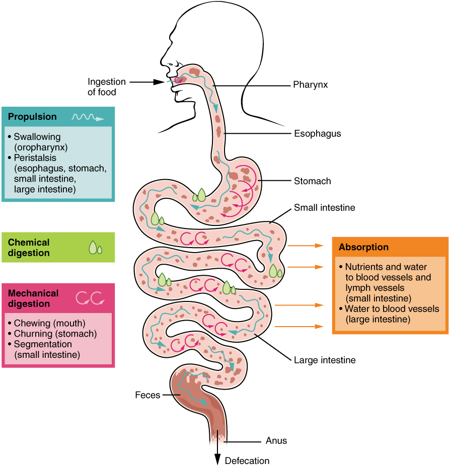 Interactive Link Questions Digestive System Processes By Openstax