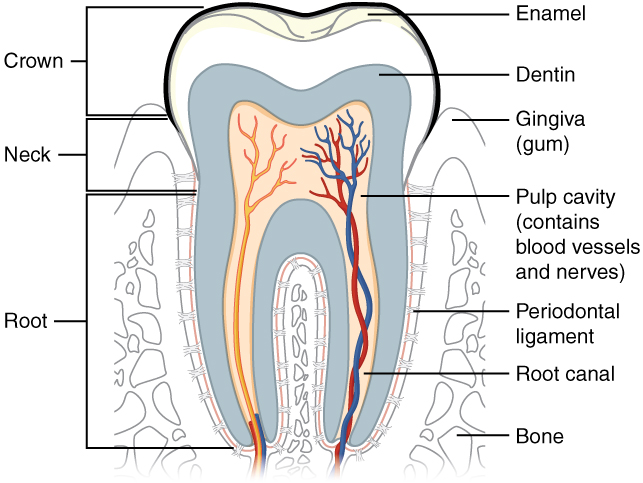 Anatomy of a tooth, The mouth, pharynx, and esophagus, By OpenStax ...