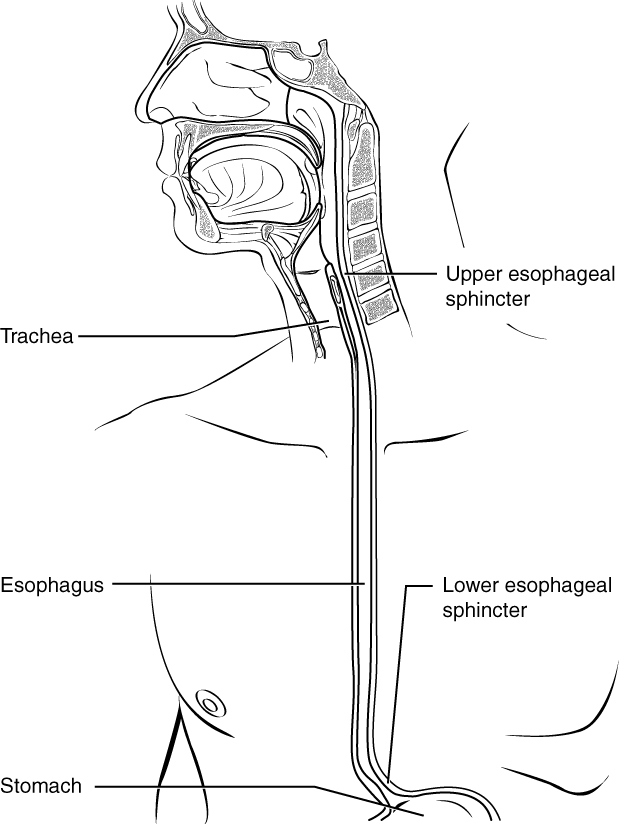 Histology of the esophagus By OpenStax (Page 7/58) | QuizOver.com