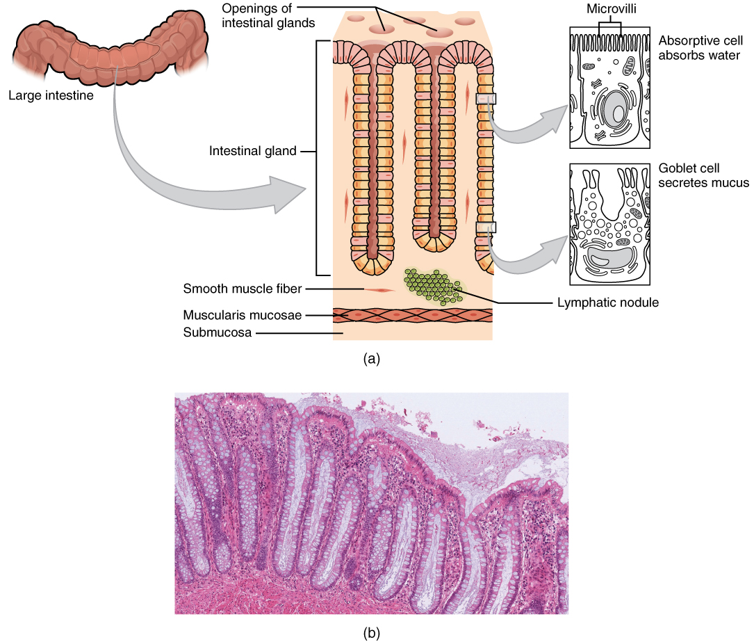 Histology, The small and large intestines, By OpenStax (Page 2/66 ...
