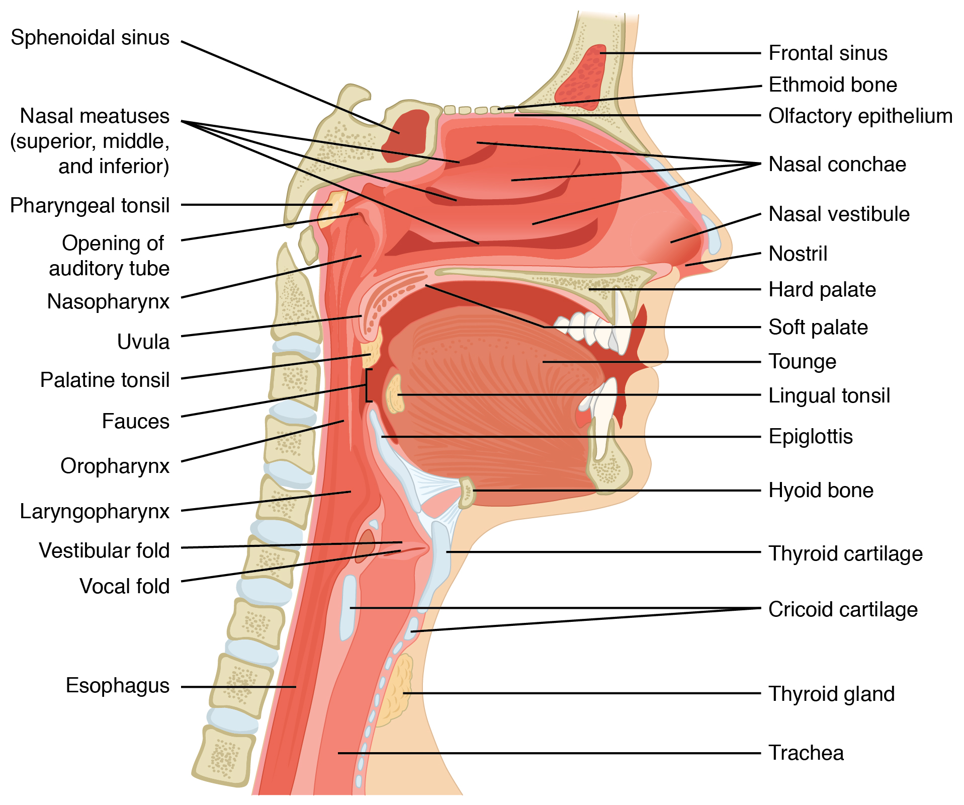 22.1 Organs and structures of the respiratory system By OpenStax ...