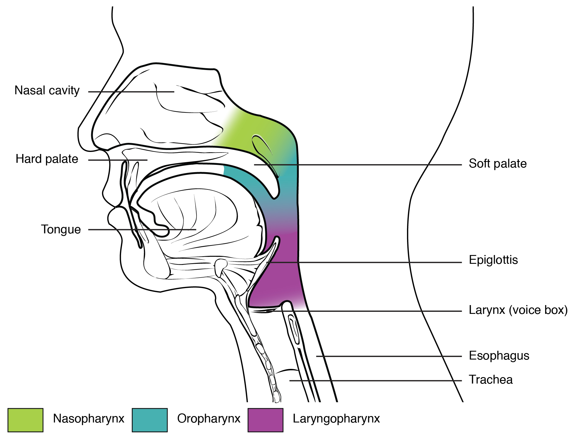 Pharynx, Organs and structures of the respiratory system, By ...