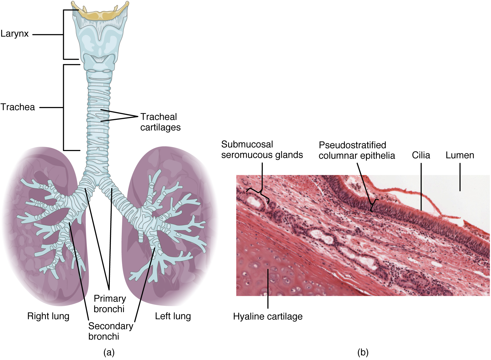 Bronchial Tree Organs And Structures Of The Respiratory By