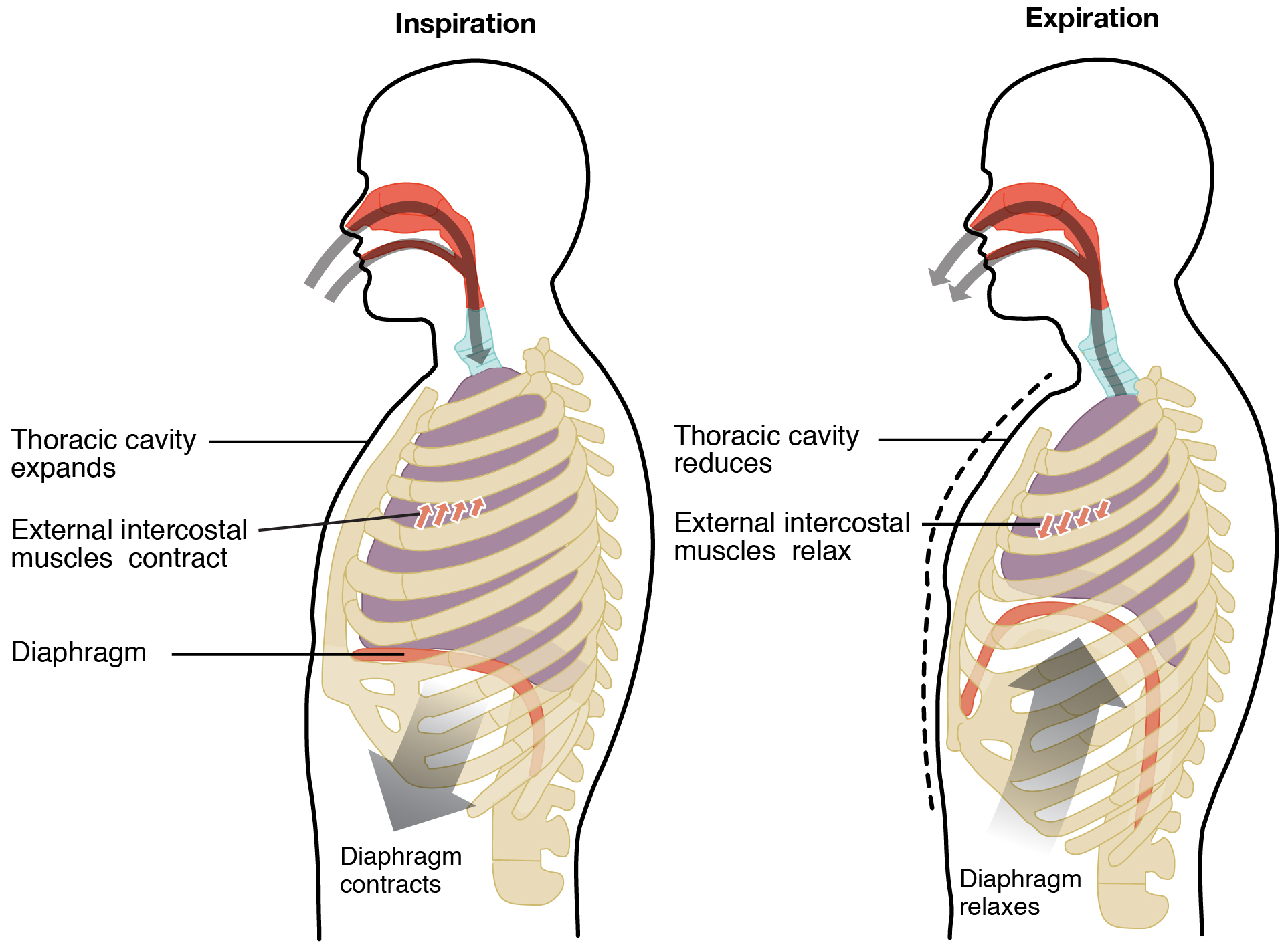 Contraction of the external intercostal muscles causes which of ...