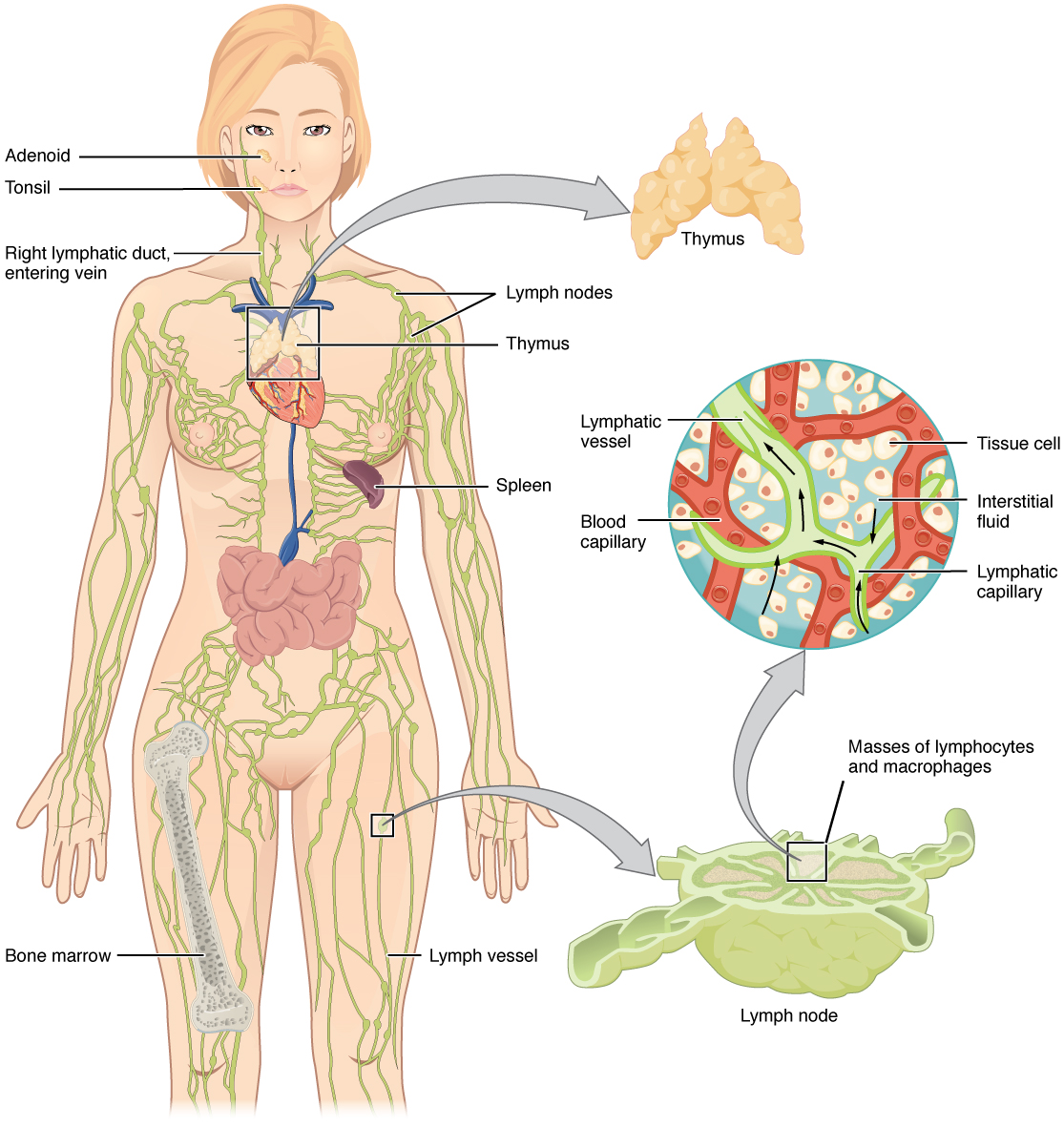 Lymphatic capillaries, Anatomy of the lymphatic and immune, By ...