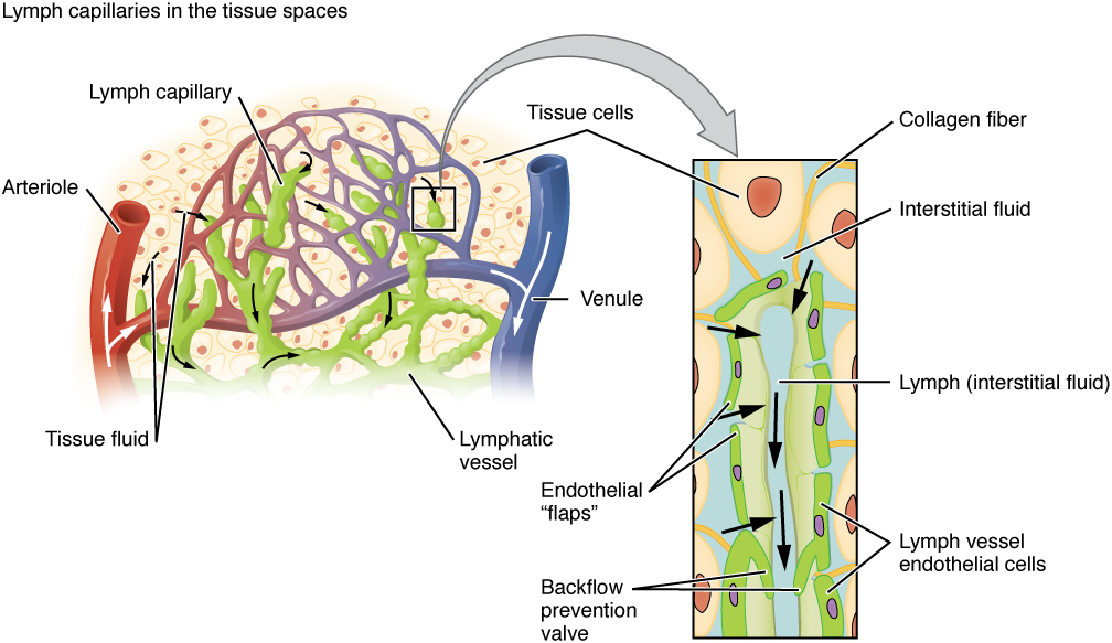 Lymphatic Capillaries Anatomy Of The Lymphatic And Immune By