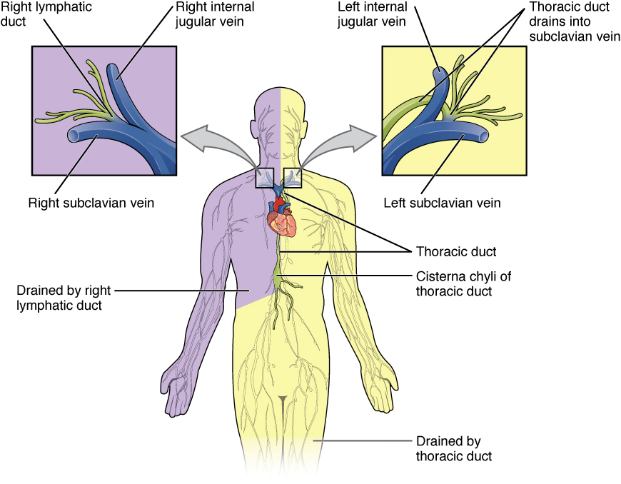 21.1 Anatomy of the lymphatic and immune systems By OpenStax (Page 3 ...