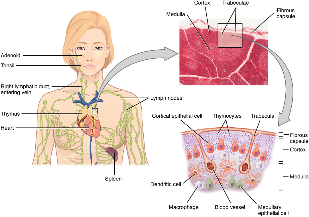 Thymus Anatomy Of The Lymphatic And Immune Systems By Openstax