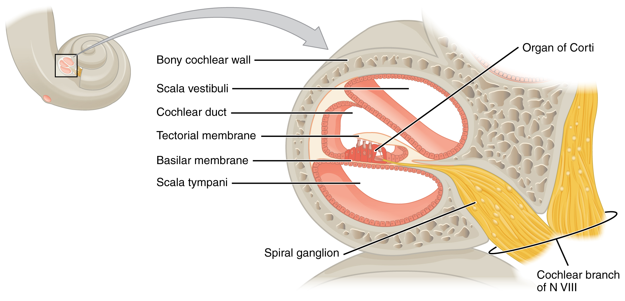141 sensory perception the somatic nervous system by openstax this diagram shows the structure of the cochlea in the inner ear ccuart Choice Image