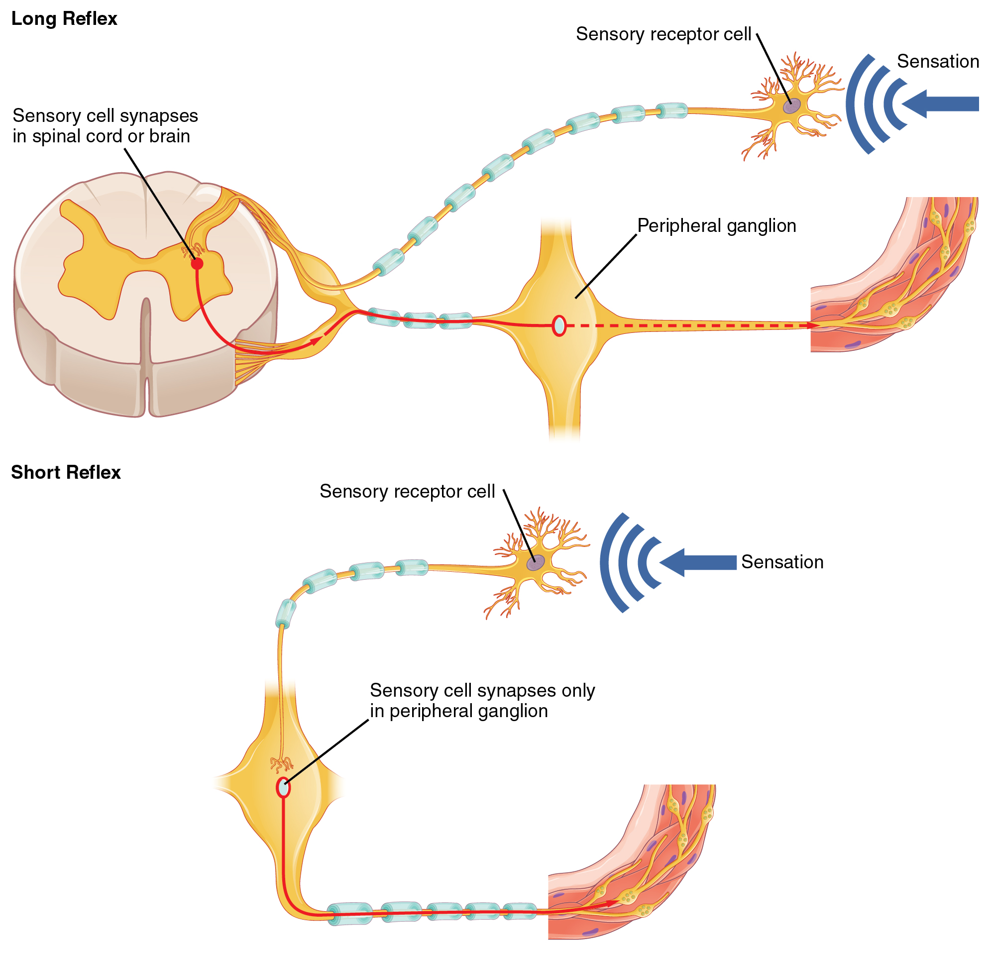 Short and long reflexes, Autonomic reflexes and homeostasis, By ...