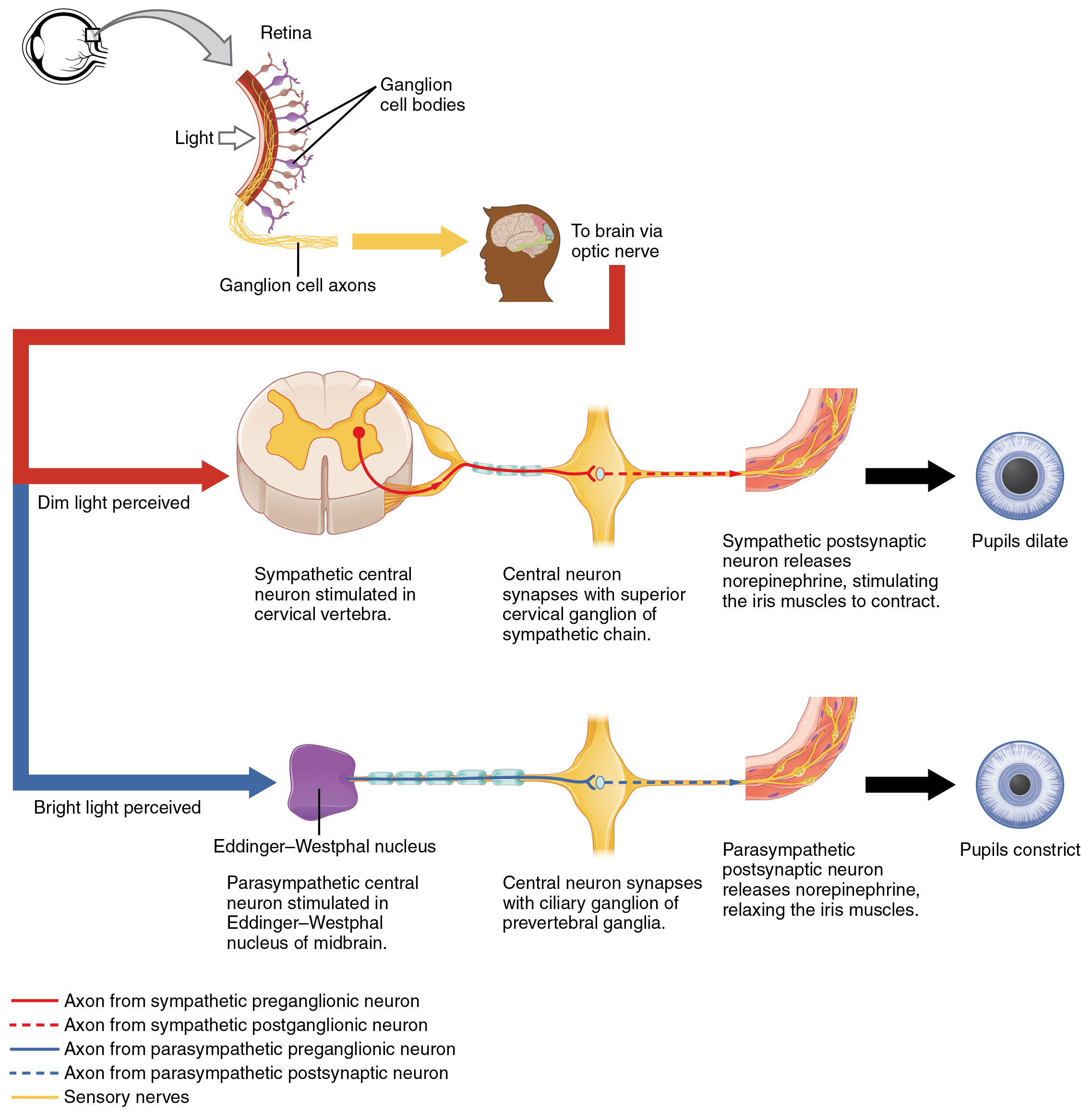 What neurotransmitter will result in constriction of By OpenStax ...