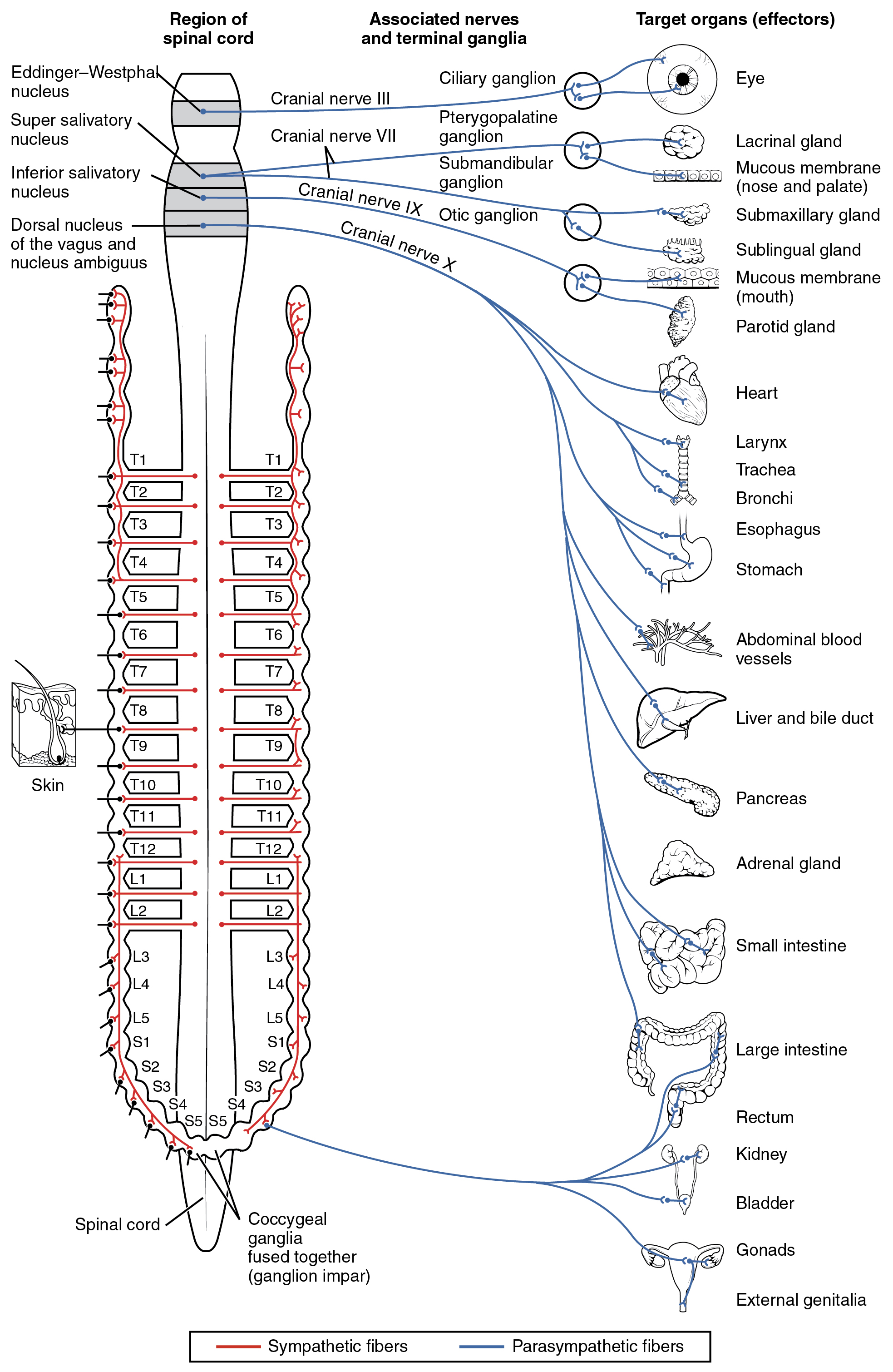 Chemical signaling in the autonomic nervous system By OpenStax (Page ...