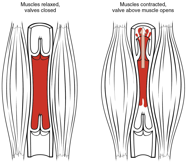Skeletal Muscle Pump Blood Flow Blood Pressure And By Openstax