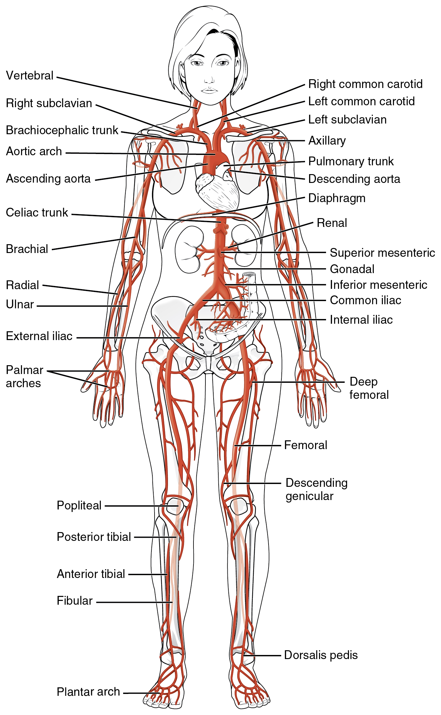 20.5 Circulatory pathways, The cardiovascular system: blood, By ...