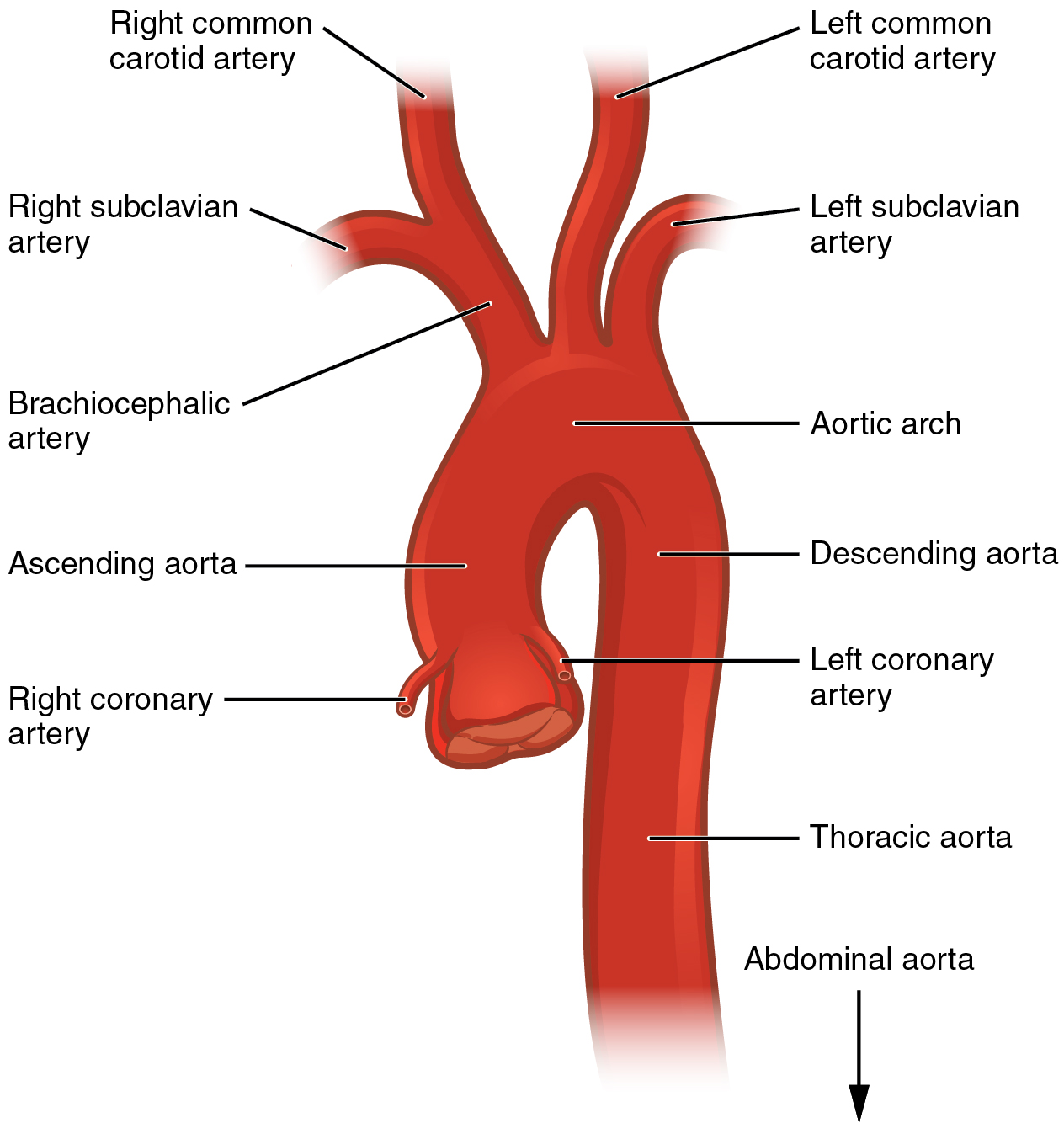 The aorta, Circulatory pathways, By OpenStax (Page 3/162) | QuizOver.com