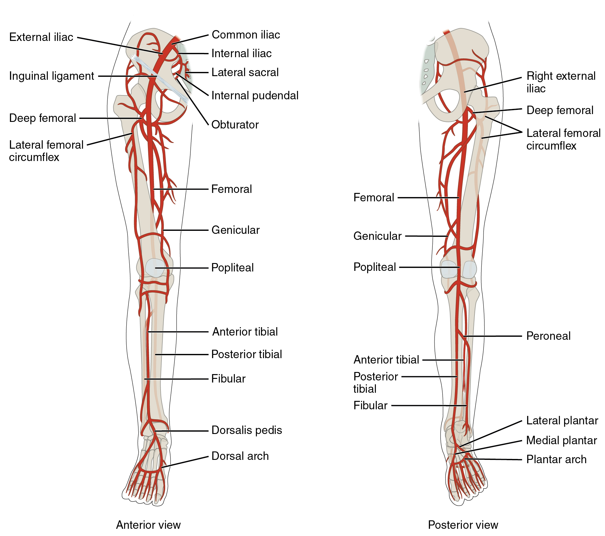 Veins draining the lower limbs By OpenStax (Page 16/162) | QuizOver.com