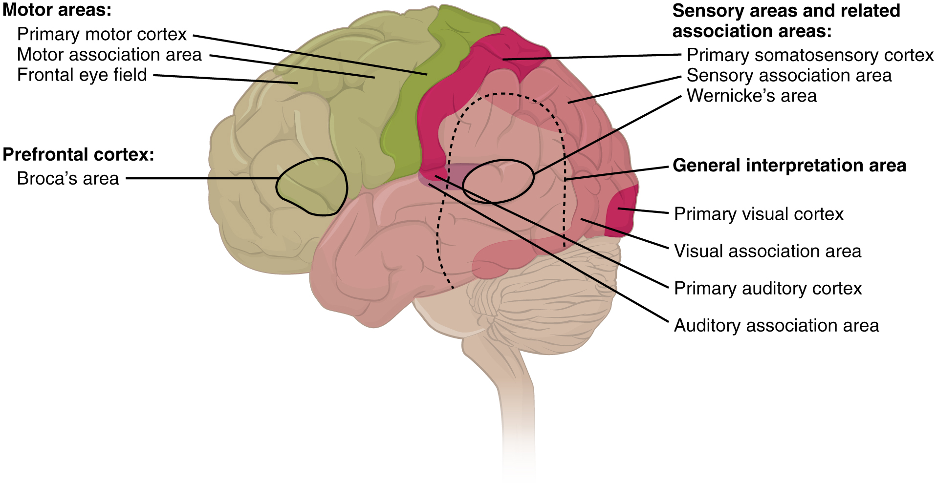 Functions Of The Cerebral Cortex By Openstax Quizover