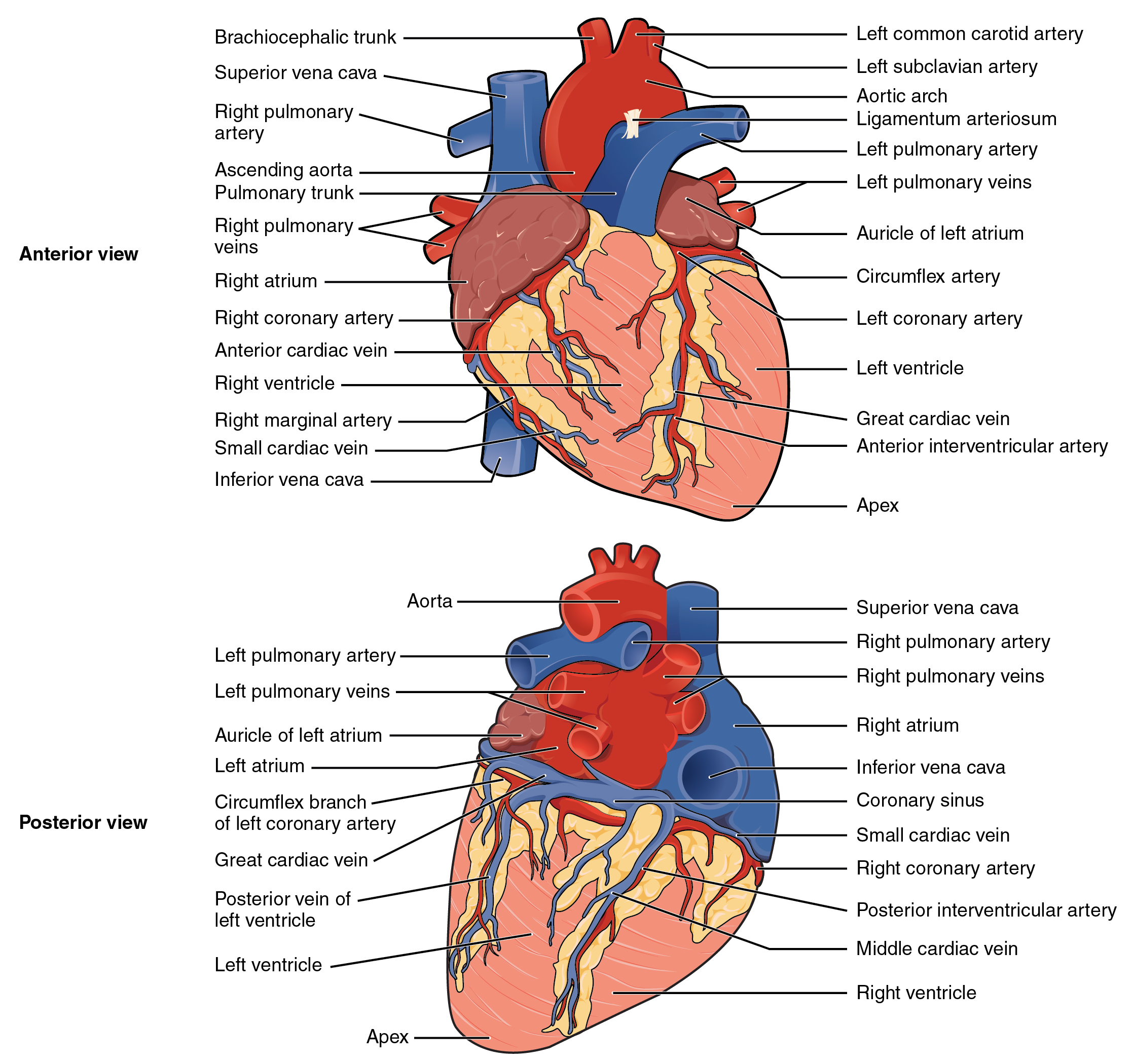 Surface Features Of The Heart By Openstax Page 486 Quizover