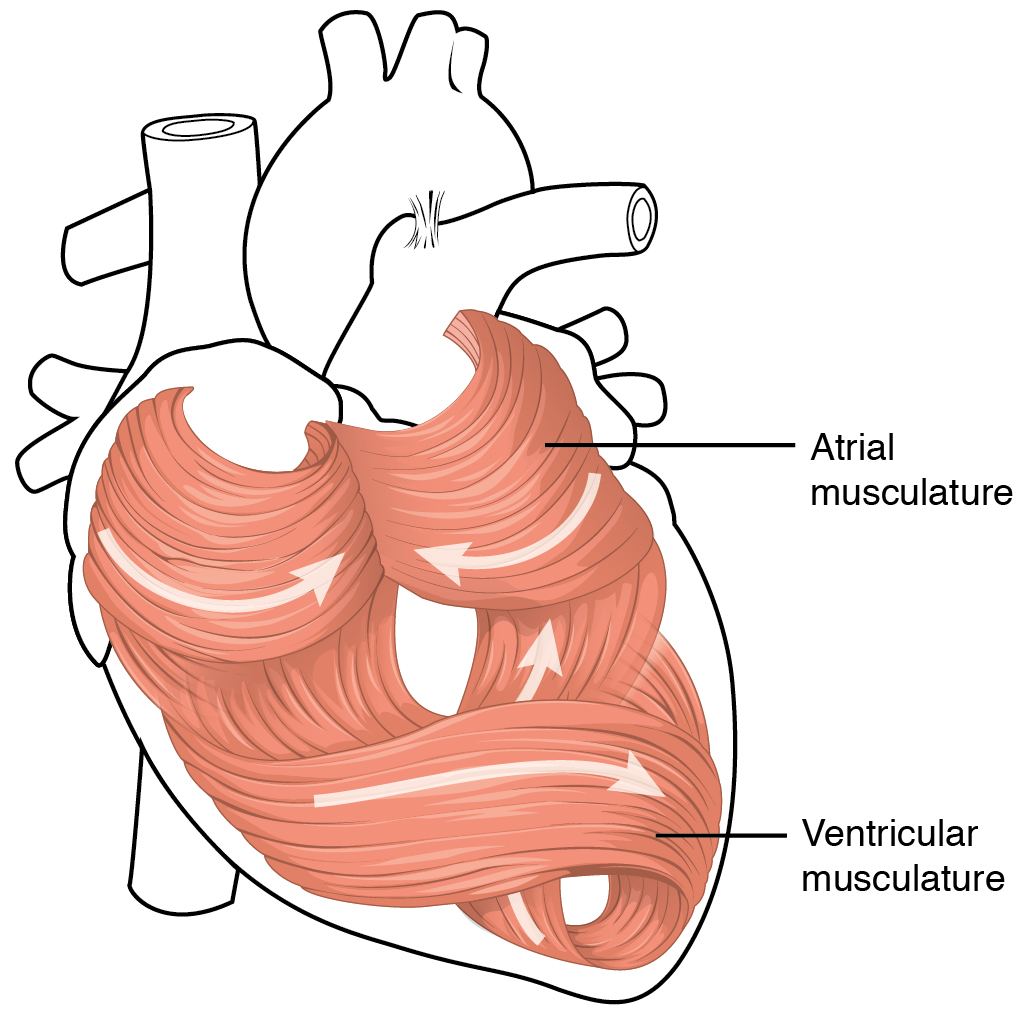 19.1 Heart anatomy, The cardiovascular system: the heart, By ...