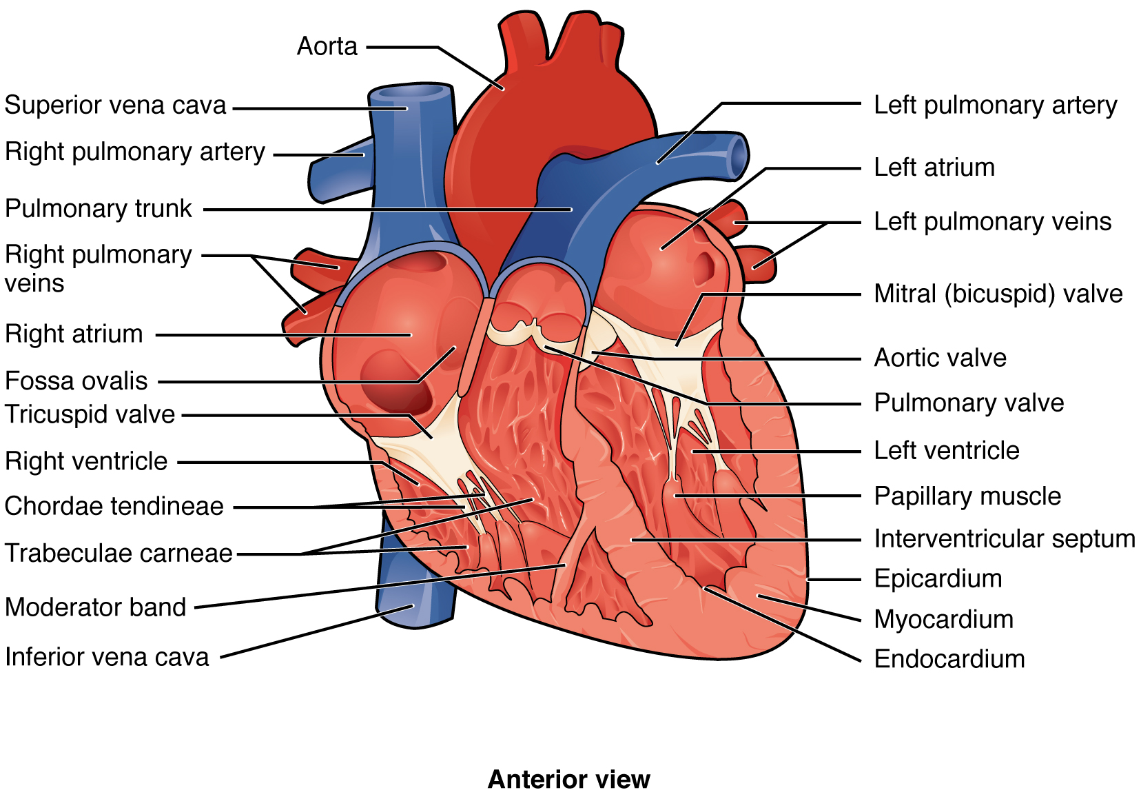 Septa of the heart, Heart anatomy, By OpenStax (Page 6/86 ...