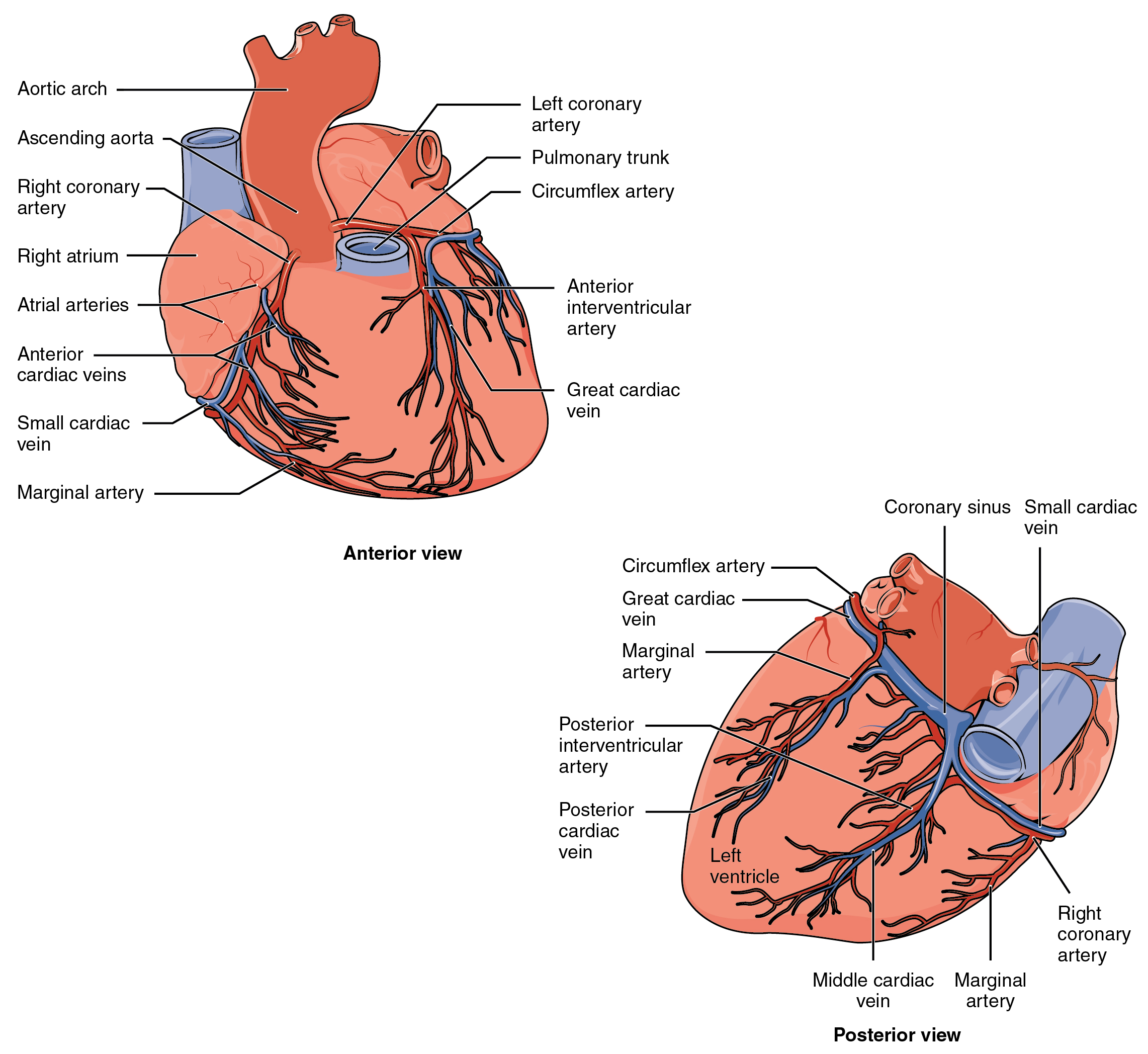 Coronary arteries heart anatomy by openstax page 1386 coronary circulation ccuart Images