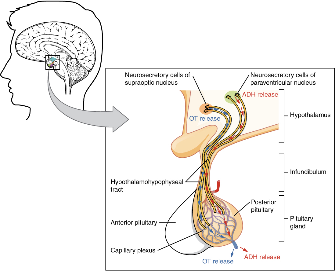 17.3 The pituitary gland and hypothalamus By OpenStax (Page 2/29 ...