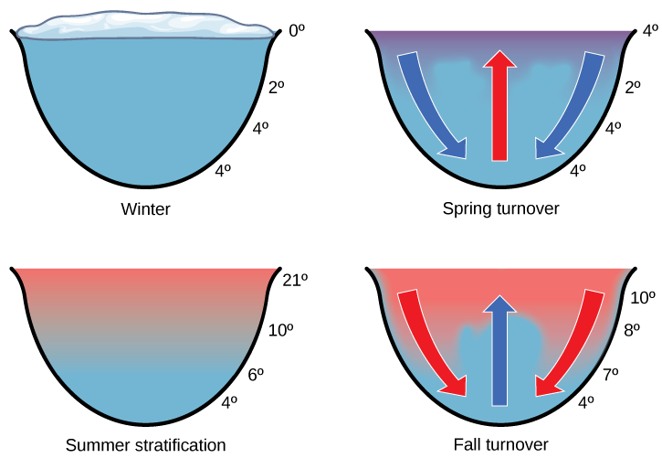 The illustration shows a cross-section of a lake in four different seasons. In winter, the surface of the lake is frozen with a temperature of 0°C. The temperature at the bottom of the lake is 4°C, and the temperature just beneath the surface is 2°C. During the spring turnover, the surface ice melts and warms to 4°C. At this temperature, the surface water is denser than the 2°C water beneath; therefore, it sinks. In summertime, the surface of the lake is 21°C, and the temperature decreases with depth, to 4°C at the bottom. During the fall turnover, the warm surface water cools to about 10°C; thus, it becomes denser and sinks.