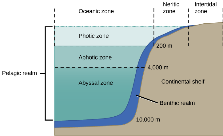 The illustration divides the ocean into different zones based on depth. The top layer, called the photic zone, extends from the surface to 200 m. The aphotic zone extends from 200 to 4,000 m. They abyssal zone extends from 4,000 m to the ocean bottom. The ocean is also divided into zones based on distance from the shore. The intertidal zone extends from high to low tide. The neritic zone extends from the intertidal zone to the point at which ocean depth is about 200 m. At about this depth, the continental shelf ends in a steep slope to the ocean bottom. The oceanic zone is the area of open ocean. A thin section of the oceanic zone extending from top to bottom and adjacent to the continental shelf is labeled the benthic realm. All of the ocean's open water is referred to as the pelagic realm, which is labeled on the left.