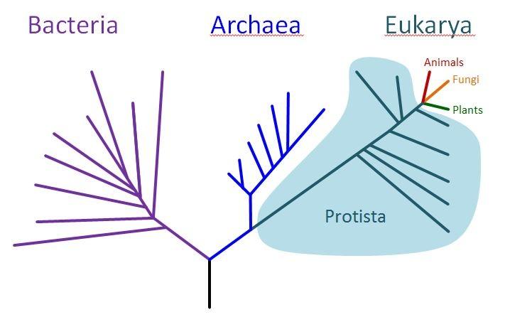 Domains Archaea Bacteria And Eukarya