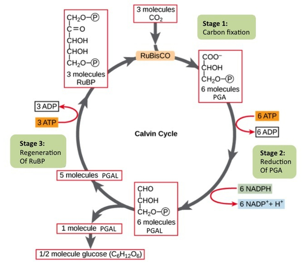 Stage 1 Fixation Calvin Cycle By Openstax Quizover