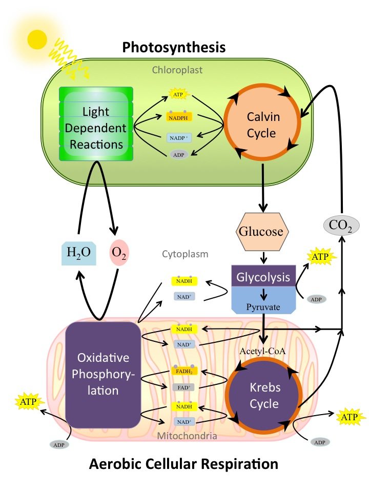 Codependency of photosynthesis and aerobic cellular by openstax a detailed image of the relationship between photosynthesis and aerobic cellular respiration ccuart Image collections