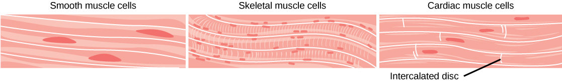Smooth muscle, Animal tissue types, By OpenStax (Page 6/6 ...