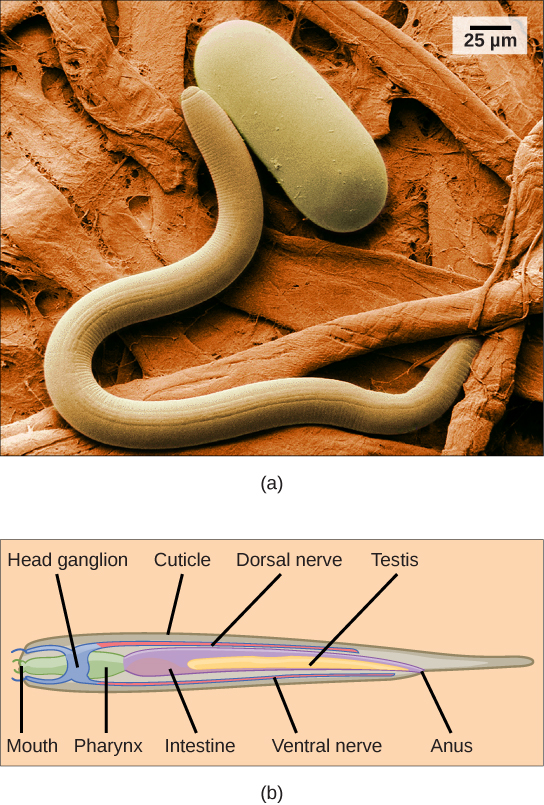 Photo a shows a scanning electron micrograph of a nematode. Figure b is a diagram of the anatomy of the nematode. The digestive system begins with a mouth at one end, then the pharynx, intestine, and anus toward the other end. A dorsal nerve runs along the top of the animal and joins a ring-like head ganglion at the front end. There is a long testis located centrally, and a cuticle covers the body.