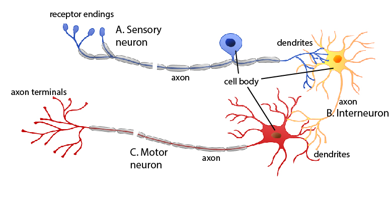 Types of neurons nervous system by openstax page 211 quizover diagram of sensory inter and motor neurons ccuart Image collections