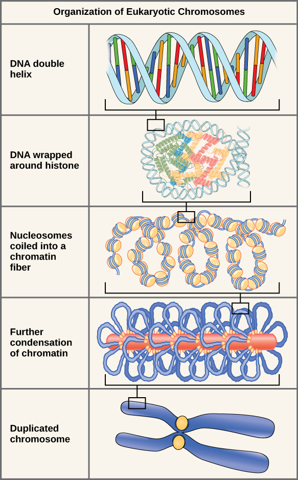 There are five levels of chromosome organization. From top to bottom: The top panel shows a DNA double helix. The second panel shows the double helix wrapped around proteins called histones. The middle panel shows the entire DNA molecule wrapping around many histones, creating the appearance of beads on a string. The fourth panel shows that the chromatin fiber further condenses into the chromosome shown in the bottom panel.