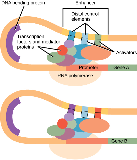 essays on gene regulation 1 gene regulation in eukaryotes ¥all cells in an organism contain all the dna: ðall genetic info ¥must regulate or control which genes are turned on in which cells.