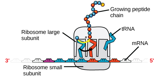 An illustration of a ribosome is shown. mRNA sits between the large and small subunits. tRNA molecules bind the ribosome and add amino acids to the growing peptide chain.