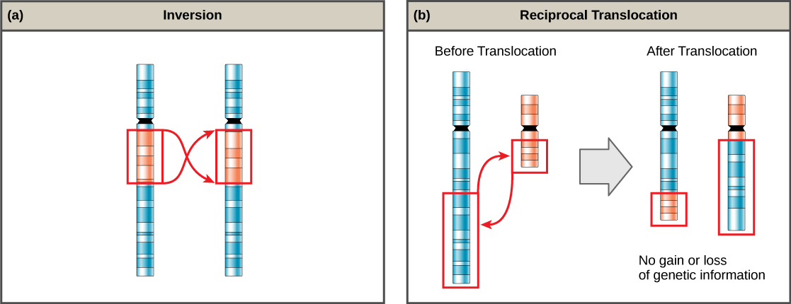 Part a shows an inversion in a chromosome. Two identical chromosomes are shown, except for a small section that has been inverted in the second chromosome. Part b shows a reciprocal translocation, in which DNA is transferred from one chromosome to another. No genetic information is gained or lost in the process.