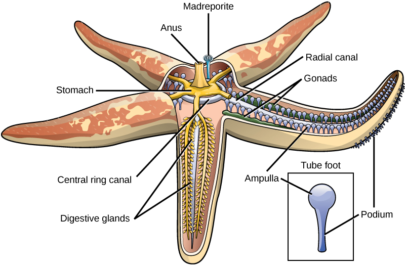 The illustration shows a sea star, which has a mouth on the bottom and an anus on top, both in the middle of the star. The disk-shaped stomach is sandwiched between the mouth and anus. Two tubes radiate from the stomach to each arm, and many small digestive glands connect to these tubes. Beneath the stomach is a central ring canal that also connects to tubes that extend into each arm. Tube feet are attached to these tubes. Each tube foot resembles a medicine dropper, with a bulb-shaped ampulla at the top and an extension called a podium at the bottom. The bottom of the podium protrudes from the bottom of the starfish. There are many podia along the length of each arm, which allow the sea star to latch onto objects and walk. A structure called a madreporite connects to the central ring and protrudes from the upper surface of the sea star, next to the anus.