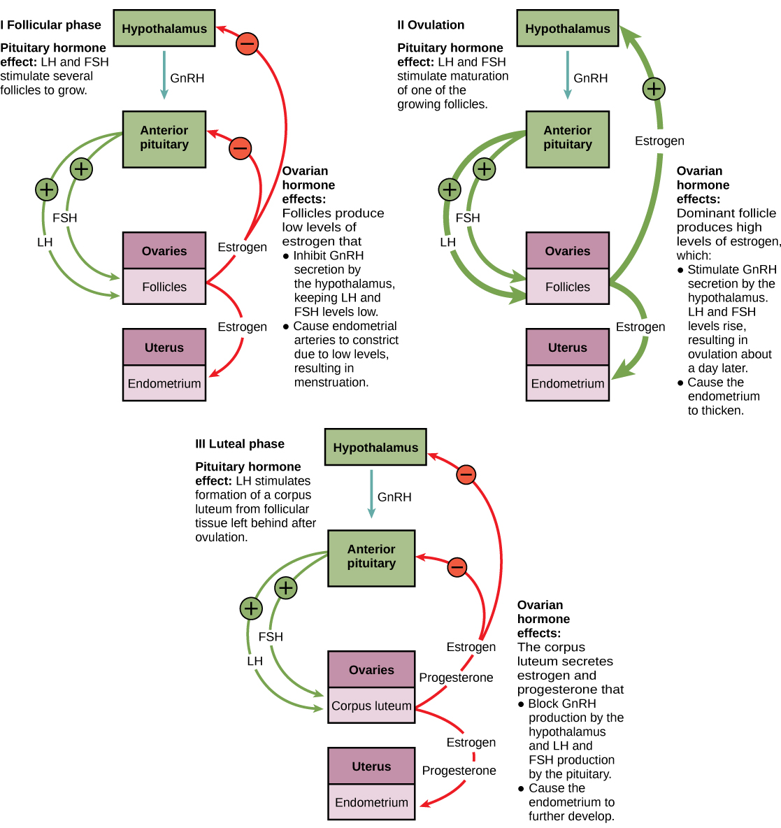 flow chart menstrual cycle: The ovarian cycle and the menstrual cycle by openstax page 6 49