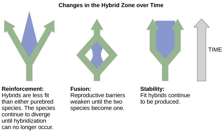 Three different possible changes in the hybrid zone may occur over time. The first possible change, reinforcement, results when hybrids are less fit than either purebred species. Like a fork in the road, the species continue to diverge until hybridization no longer occurs. The second possible change, fusion, results when reproductive barriers weaken until two species become one. In this scenario species initially diverge, but then join together. In the third scenario, stability, fit hybrids continue to be produced at a steady rate.