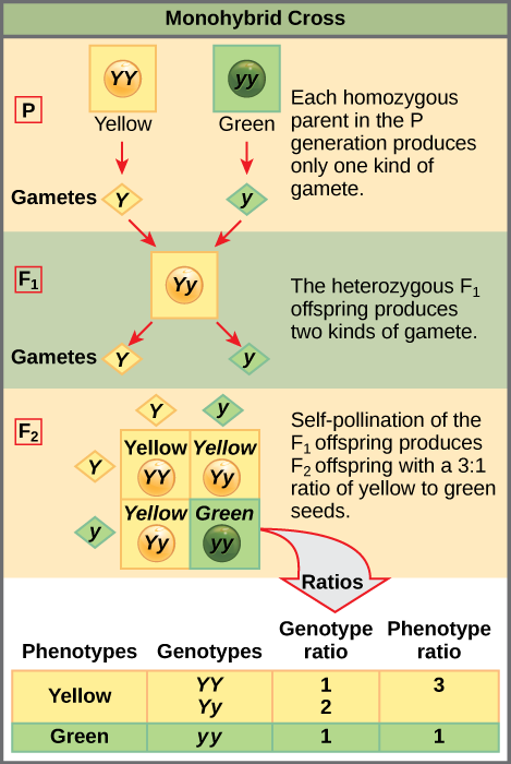 This illustration shows a monohybrid cross. In the P generation, one parent has a dominant yellow phenotype and the genotype YY, and the other parent has the recessive green phenotype and the genotype yy. Each parent produces one kind of gamete, resulting in an F_{1} generation with a dominant yellow phenotype and the genotype Yy. Self-pollination of the F_{1} generation results in an F_{2} generation with a 3 to 1 ratio of yellow to green peas. One out of three of the yellow pea plants has a dominant genotype of YY, and 2 out of 3 has the heterozygous genotype Yy. The homozygous recessive plant has the green phenotype and the genotype yy.