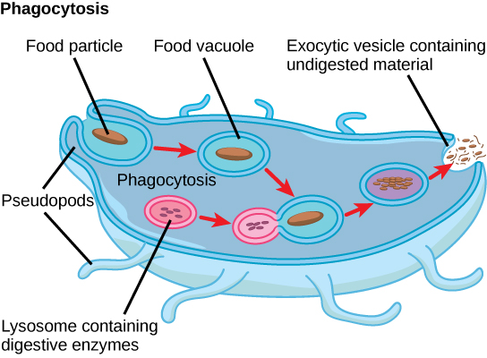 In this illustration, a eukaryotic cell is shown consuming a food particle. As the particle is consumed, it is encapsulated in a vesicle. The vesicle fuses with a lysosome, and proteins inside the lysosome digest the particle. Undigested waste material is ejected from the cell when an exocytic vesicle fuses with the plasma membrane.