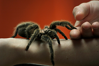 A close-up picture of a very large spider on a person's arm is shown. The person is using its other hand to hold up two of the spider's legs.