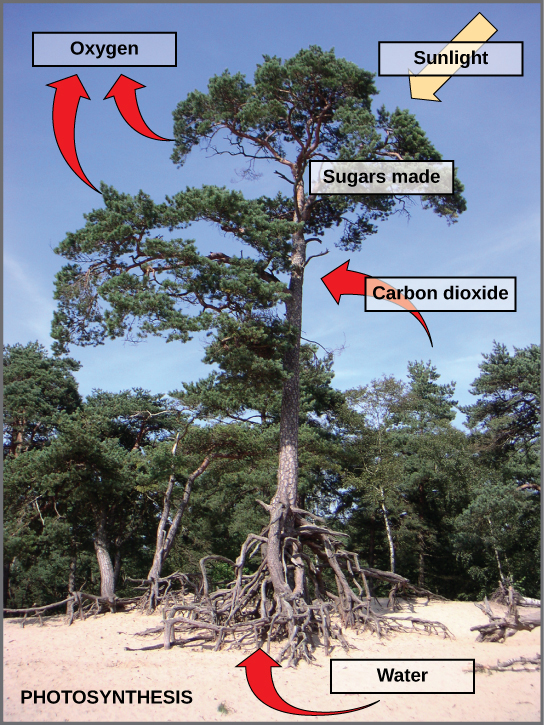 This photo shows a tree. Arrows indicate that the tree uses carbon dioxide, water, and sunlight to make sugars and release oxygen.