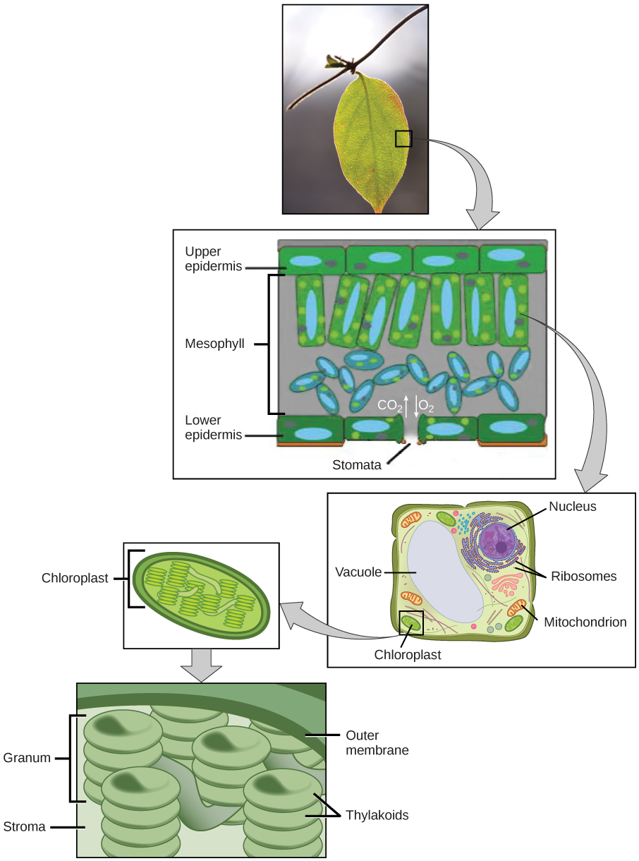 The upper part of this illustration shows a leaf cross-section. In the cross-section, the mesophyll is sandwiched between an upper epidermis and a lower epidermis. The mesophyll has an upper part with rectangular cells aligned in a row, and a lower part with oval-shaped cells. An opening called a stomata exists in the lower epidermis. The middle part of this illustration shows a plant cell with a prominent central vacuole, a nucleus, ribosomes, mitochondria, and chloroplasts. The lower part of this illustration shows the chloroplast, which has pancake-like stacks of membranes inside.