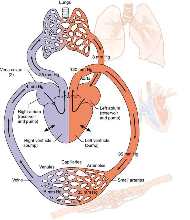Figure is a schematic diagram of the circulatory system. The lungs, heart, arteries and vein systems are shown. The blood is shown to flow from the left atrium through the arteries, then through the veins and back to the right atrium. The flow is also shown from right atrium to the lungs and from lungs back to left atrium. All parts of the system are labeled. Pressure various points of the system all along the movement of blood across various parts are also marked.