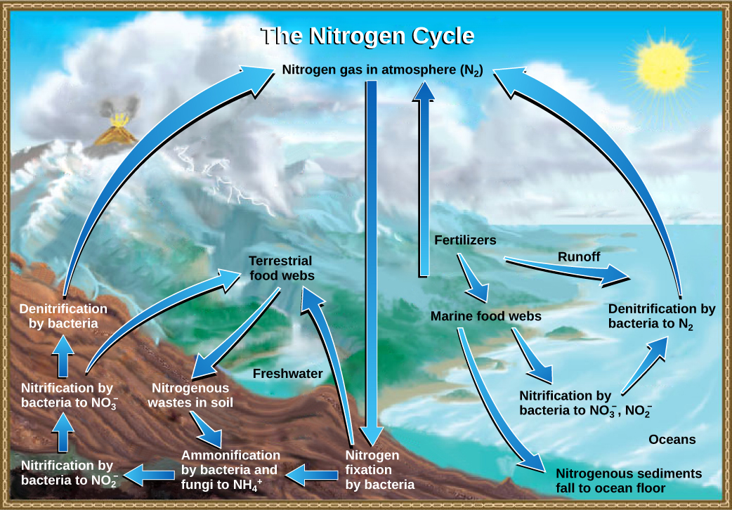The illustration shows the nitrogen cycle. Nitrogen gas from the atmosphere is fixed into organic nitrogen by nitrogen fixing bacteria. This organic nitrogen enters terrestrial food webs. It leaves the food webs as nitrogenous wastes in the soil. Ammonification of this nitrogenous waste by bacteria and fungi in the soil converts the organic nitrogen to ammonium ion (NH4 plus). Ammonium is converted to nitrite (NO2 minus), then to nitrate (NO3 minus) by nitrifying bacteria. Denitrifying bacteria convert the nitrate back into nitrogen gas, which reenters the atmosphere. Nitrogen from runoff and fertilizers enters the ocean, where it enters marine food webs. Some organic nitrogen falls to the ocean floor as sediment. Other organic nitrogen in the ocean is converted to nitrite and nitrate ions, which is then converted to nitrogen gas in a process analogous to the one that occurs on land.