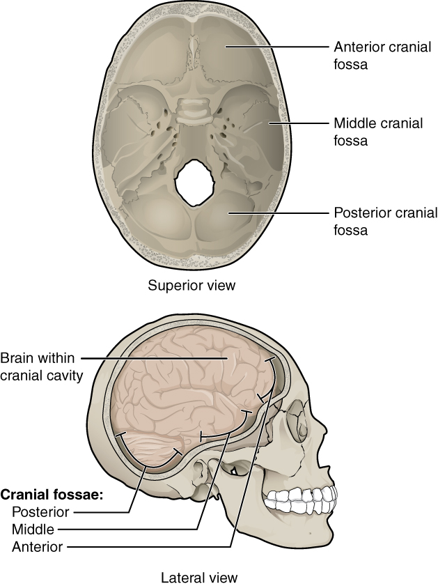 Lateral View Of Skull The Skull By Openstax Page 2120